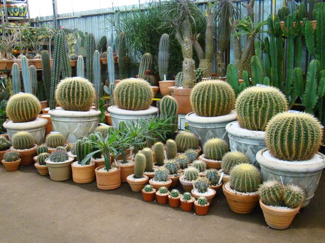 Cactos Cuidados cactus