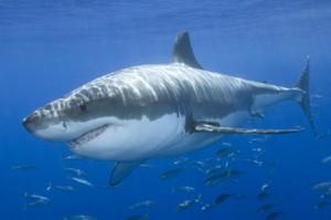 Os 10 Tubarões Mais Perigosos Do Mundo – Fotos tubarao branco 300x199