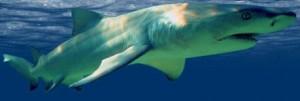 Os 10 Tubarões Mais Perigosos Do Mundo – Fotos tubarao limao 300x101