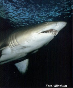 Os 10 Tubarões Mais Perigosos Do Mundo – Fotos tubarao magona 251x300