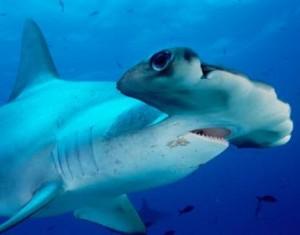 Os 10 Tubarões Mais Perigosos Do Mundo – Fotos tubarao martelo 300x235
