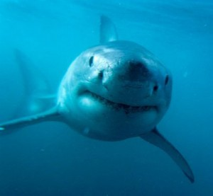 Os 10 Tubarões Mais Perigosos Do Mundo – Fotos tubarao  tigre 300x277