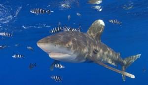 Os 10 Tubarões Mais Perigosos Do Mundo – Fotos tubarao galha branca 300x172