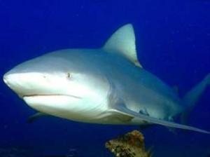 Os 10 Tubarões Mais Perigosos Do Mundo – Fotos tubaraocabeça chata 300x224