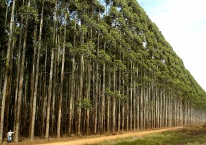 Planta Eucalipto (1)