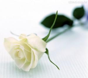 02. Rosa Branca